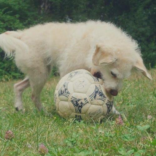 Hund hat Angst vor Fußball